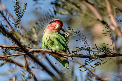 Rosy-faced Lovebird Photograph - Hmmmm Let Me Think by Teresa Wilson