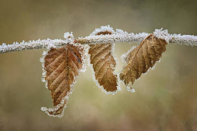 Photograph - Hoar Frost - Leaves by Nikolyn McDonald