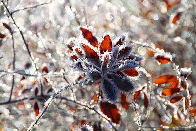 Photograph - Hoar Frost - Nature's Christmas Lights  by Peggy Collins