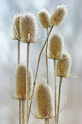Photograph - Hoar Frost - Wild Teasel by Nikolyn McDonald