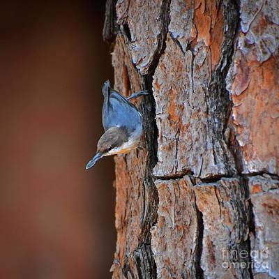 Photograph - Hoarding Nuthatch by Skip Willits