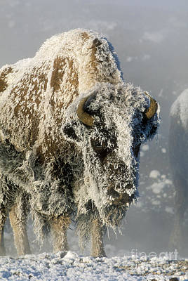 Bison Photograph - Hoarfrosted Bison In Yellowstone by Sandra Bronstein