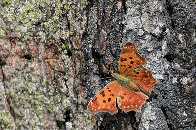 Photograph - Hoary Comma Butterfly by Susan Rissi Tregoning