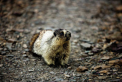 Photograph - Hoary Marmot 01 by Josh Bryant