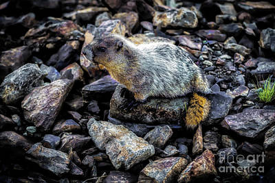 Photograph - Hoary Marmot by Jon Burch Photography