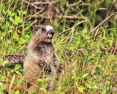 Photograph - Hoary Marmot by Roxie Crouch