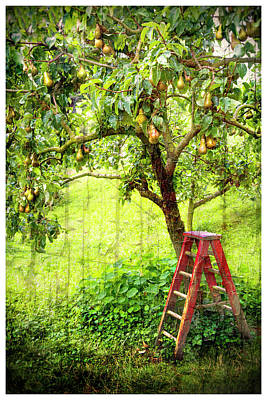 Photograph - Hobbit Pear Tree by Kathryn McBride