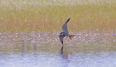 Photograph - Hobby Skimming Water by Peter Walkden
