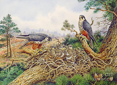 Falconry Painting - Hobbys At Their Nest by Carl Donner