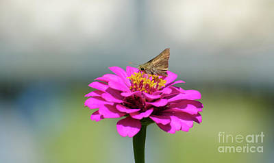 Photograph - Hobomok Skipper Butterfly by Donna Brown