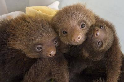 Photograph - Hoffmanns Two-toed Sloth Choloepus by Suzi Eszterhas