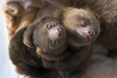 Hoffmanns Two-toed Sloth Orphans Hugging Art Print by Suzi Eszterhas