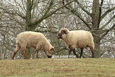 Photograph - Hog Island Sheep 8071 by Captain Debbie Ritter