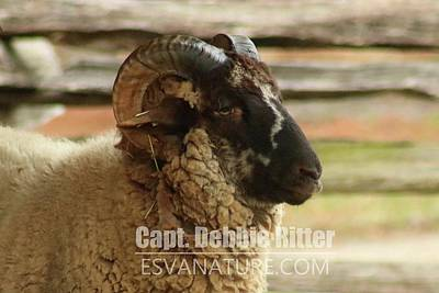 Photograph - Hog Island Sheep 8547 by Captain Debbie Ritter