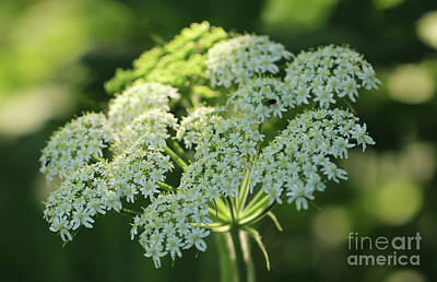 Photograph - Hogweed In Dappled Light by Rachel Cohen