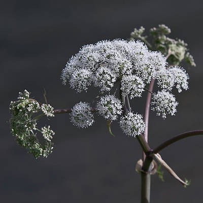 Photograph - Hogweed by Jos Verhoeven