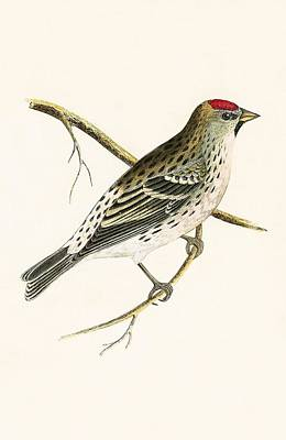 Ornithology Drawing - Holboll's Redpole by English School