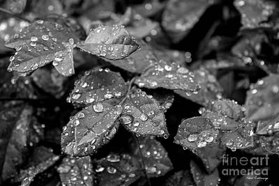 Photograph - Holding On Rain Drops Falling On Red Tips Art by Reid Callaway