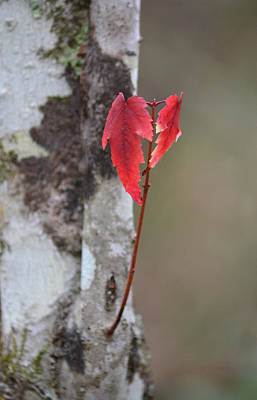 Photograph - Holding Red - Acer Rubrum Maple by rd Erickson
