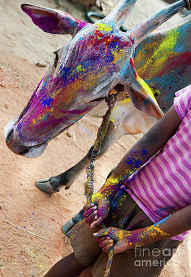 Photograph - Holi Cow by Tim Gainey
