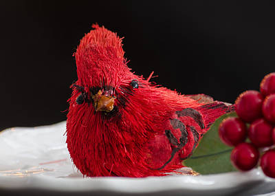 Photograph - Holiday Cardinal by Stephanie Maatta Smith