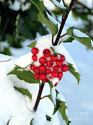 Photograph - Holly And Berries  by Janice Drew