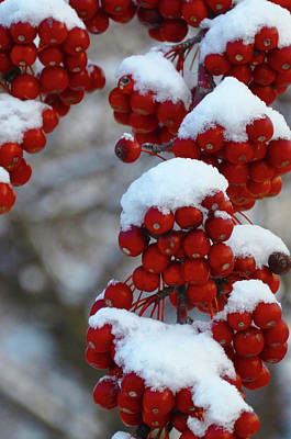 Photograph - Holly Berries In The Snow by Bill Cannon