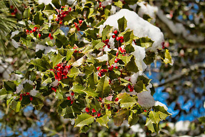 Photograph - Holly Berries In The Snow  by Kristia Adams