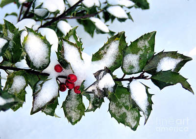 Photograph - Holly Berries by Janice Drew