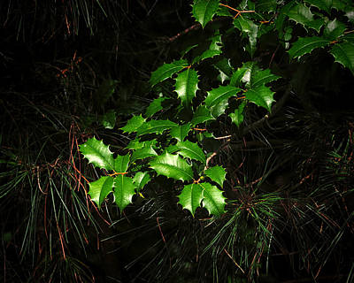 Photograph - Holly Branch Among The Pines by Bill Swartwout