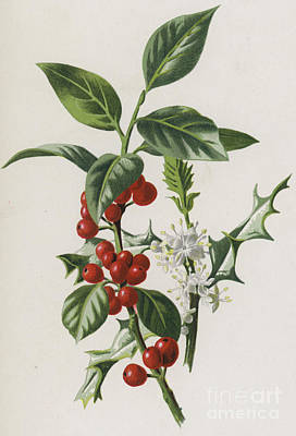 Berry Drawing - Holly by Frederick Edward Hulme