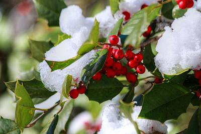 Photograph - Holly In Snow by Carol Montoya