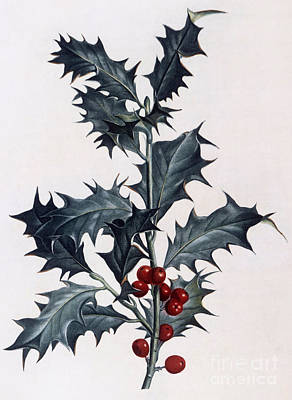 Holly Art Print by Pierre Joseph Redoute
