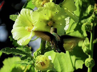 Photograph - Hollyhock Hummer by Jacqueline  DiAnne Wasson