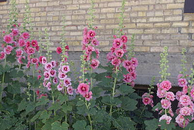 Photograph - Hollyhocks by Cynthia Powell