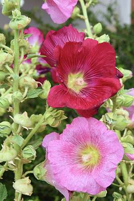 Photograph - Hollyhocks by Helen Haw