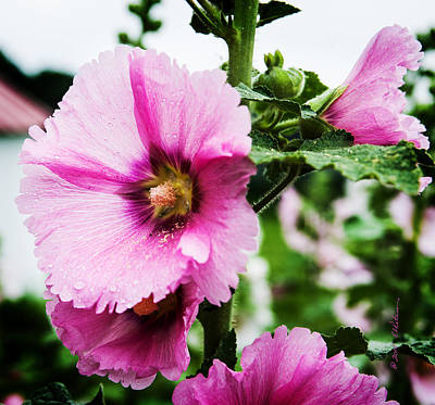 Photograph - Hollyhocks In The Rain by Edward Peterson