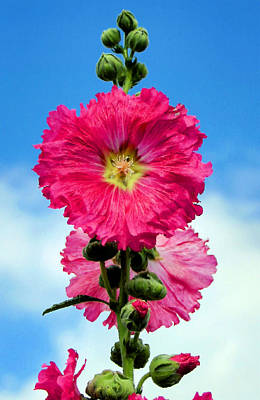 Photograph - Hollyhocks by Kristin Elmquist