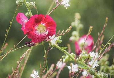 Photograph - Hollyhocks  by Steph Gabler