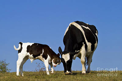 Butting Heads Photograph - Holstein Cow And Calf by Jean-Louis Klein & Marie-Luce Hubert