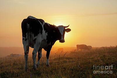 Photograph - Holstein Friesian Cow by Arterra Picture Library