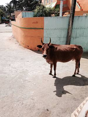 Photograph - Holy Cow by LeLa Becker
