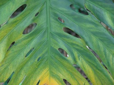 Photograph - Holy Leaf by Florene Welebny