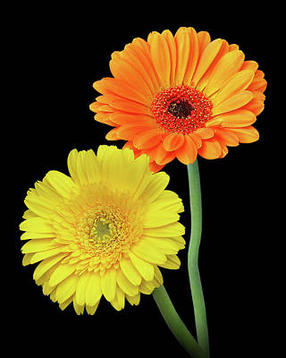 Photograph - Homage To The Sun - Gerbera Daisies by Gill Billington