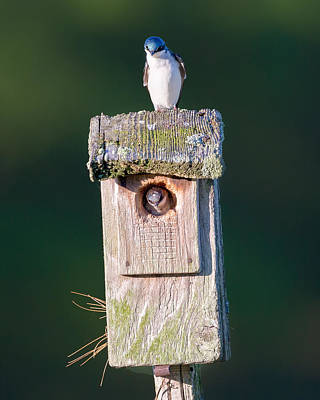 Swallow Photograph - Home by Bill Wakeley