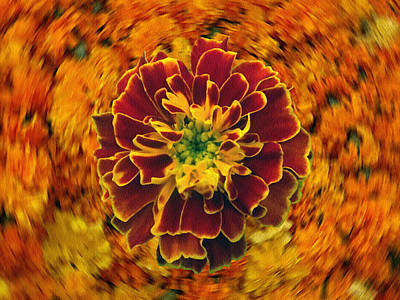 Photograph - Home Grown Marigold by Dennis Buckman