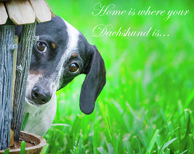 Photograph - Home Is Where Your Dachshund Is by Mark Andrew Thomas