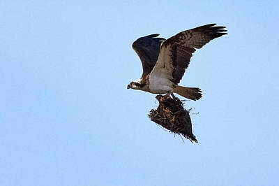 Photograph - Home Decoration By Osprey by Jouko Lehto