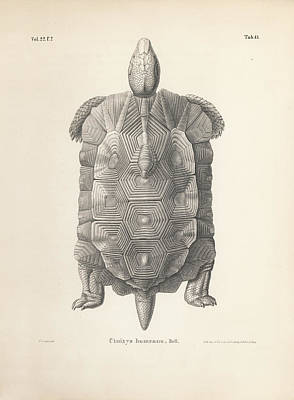Drawing - Home's Hingeback Tortoise, Kinixys Homeana by Heinrich Grape