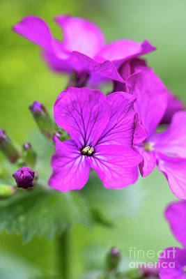 Photograph - Honesty Flowers In Spring by Tim Gainey